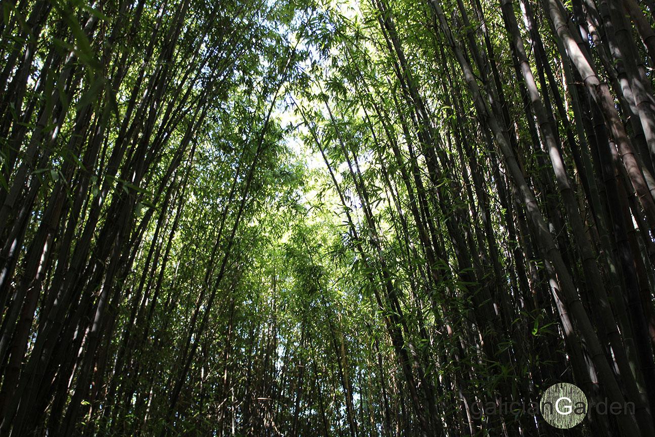Jard n de bamb negro del balneario d vila galiciangarden - Jardin de bambu talavera ...