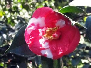"""Camellia japonica """"Mifenjaku"""""""