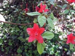 Azalea japonesa 'Orange Beauty'