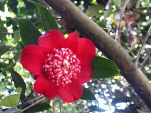 "Camellia japonica ""Bob's Tinsie"""