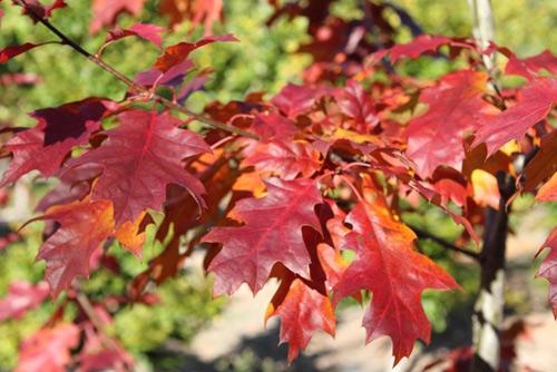 quercus-rubra-maxima-autumn-leaf-1