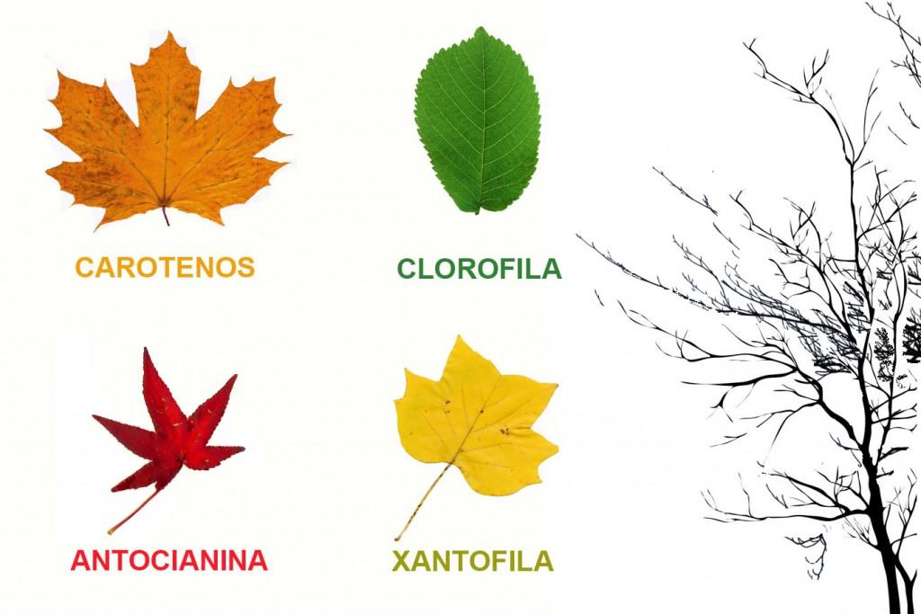 Por qu cambian de color las hojas durante el oto o for Como se llaman los arboles que no pierden sus hojas