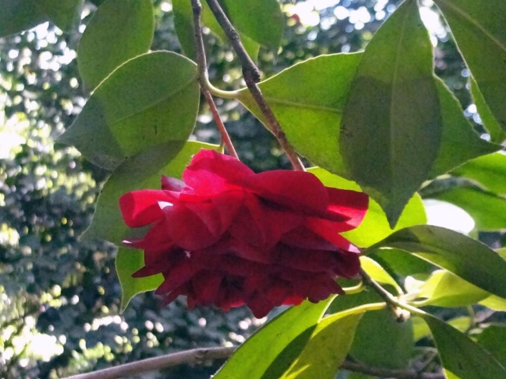 "Camellia japonica ""Mathothiana"""