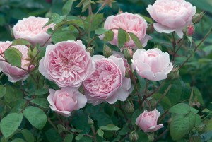 Rosa 'Wisley 2008' – repeat-flowering English Old Rose Hybrid with approximately 95 petals. This is a rose of exceptional delicacy and charm bearing some resemblence to the old Alba Roses.